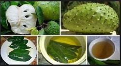 , efek samping air rebusan daun sirsak, manfaat rebusan daun sirsak untuk kesuburan wanita, tanaman herbal untuk kecantikan wajah, manfaat buah sirsak untuk wajah, tumbuhan untuk memutihkan kulit badan,