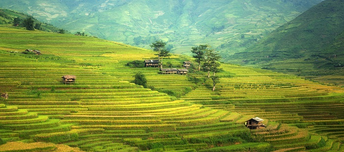 gambar pemandangan sawah bertingkat, gambar pemandangan sawah hijau, gambar pemandangan sawah asli, gambar pemandangan sawah keren
