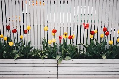 gambar bunga tulip abstrak,gambar bunga tulip afrika,gambar bunga tulip kuning,makna gambar bunga tulip,gambar bunga tulip biru,gambar bunga tulip belanda,gambar bunga tulip bergerak