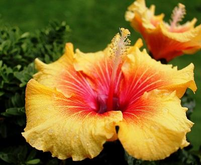 gambar bunga sepatu adalah,gambar bunga kembang sepatu akar,gambar akar bunga sepatu,gambar anatomi bunga sepatu