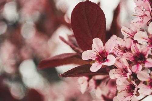 gambar bunga sakura anak sd,gambar bunga sakura animasi bergerak,gambar abstrak bunga sakura,gambar animasi bunga sakura berguguran