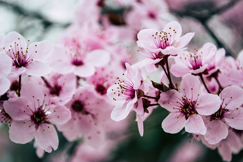 gambar bunga sakura bergerak gif,gambar bunga sakura berasal dari,sketsa gambar bunga sakura berwarna,