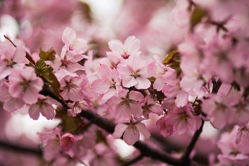 gambar bunga sakura paling cantik,gambar bunga sakura yg cantik,gambar bunga sakura untuk cover buku,gambar bunga sakura yang paling cantik