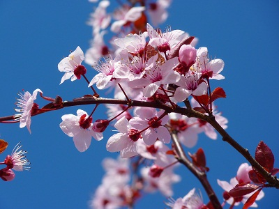 gambar bunga sakura dengan pensil,gambar bunga sakura dari kertas,gambar bunga sakura di indonesia,gambar bunga sakura di buku