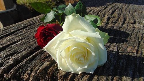 .download-gambar-bunga-mawargambar-bunga-mawar-emasgambar-gambar-bunga-mawargambar-bunga-mawar-hidupgambar-bunga-mawar-indah
