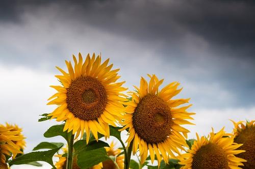 gambar bunga matahari kartun,gambar bunga matahari sketsa,gambar bunga matahari hitam putih,gambar bunga matahari animasi,gambar bunga matahari anak tk,Foto oleh Manuela Adler